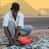 fishing in Sri Lanka - Fish is part of the staple sri lankan cuisine