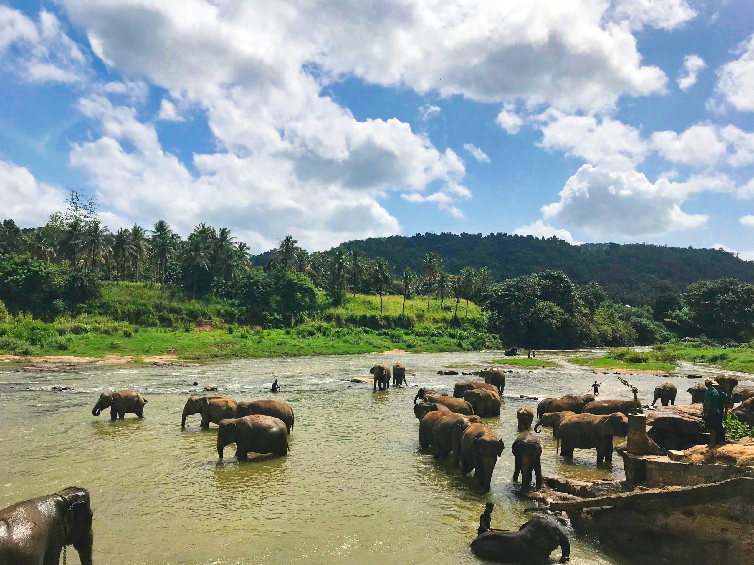 elephants in sri lanka in Minneriya national park - the gathering